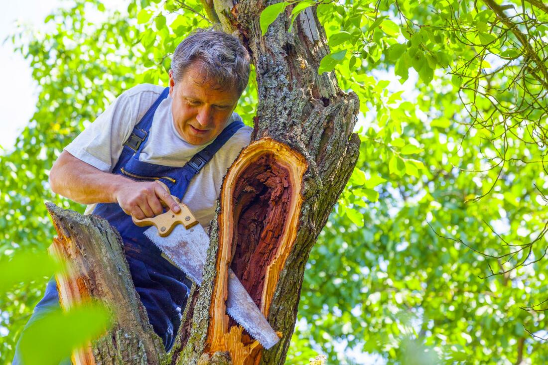 Picture shows a certified arborist cutting a small tiny branch from a tree