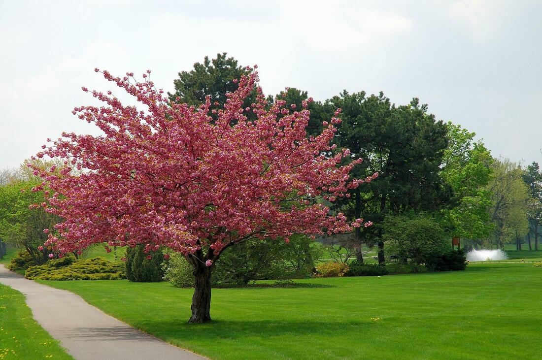 Picture shows a beautiful tree in the middle of a park beside a walking path. The tree has red leaves and its blooming