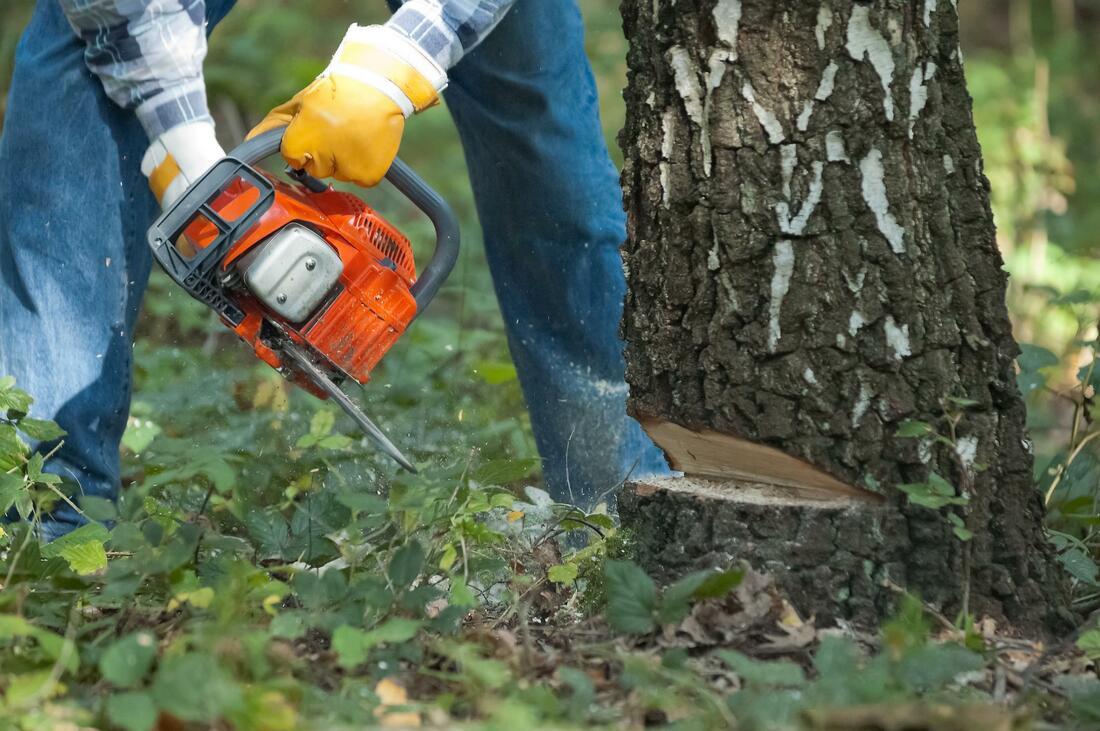 Picture shows a man with a chain saw cutting the tree at the bottom of the tree. you see the mans legs, his arms and the chainsaw